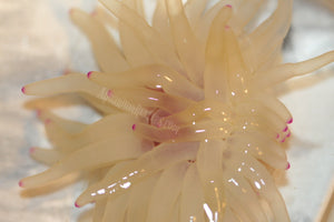 Condylactis Anemone Color Tips