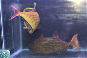 Crosshatch Trigger Fish Pair