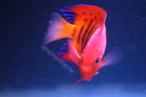 Flame Angel