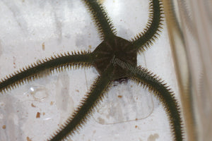Green Brittle Starfish