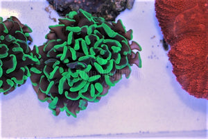 Green Branching Hammer Frag - Aquarium-Reefers Online Store