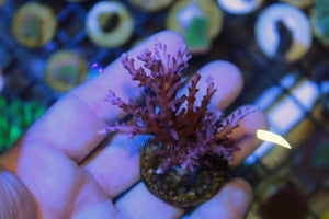 Red Dragon Acro Mini Colony WYSIWYG