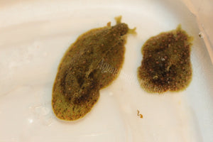 UFO Sea Hare Slugs