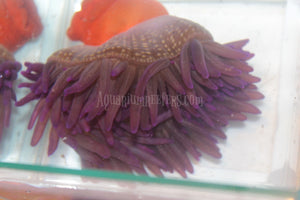 Purple Long Tentacle Anemone WYSIWYG