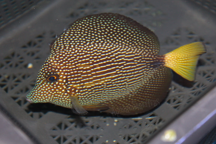 Lined Gem  WYSIWYG - Aquarium-Reefers Online Store