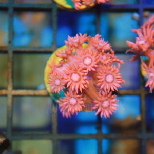 Pink Panther Flower Pot - Aquarium-Reefers Online Store