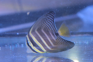 Sailfin Tang - Aquarium-Reefers Online Store