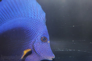 Purple Tang WYSIWYG - Aquarium-Reefers Online Store