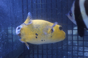 Golden Puffer - Aquarium-Reefers Online Store