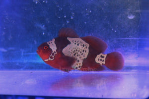 S&R Lightning Maroon Clown WYSIWYG - Aquarium-Reefers Online Store
