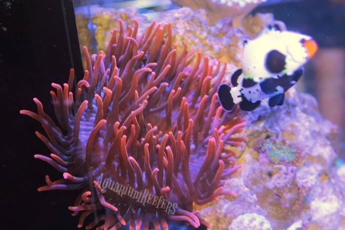 Sherman Bubble Tip Anemone