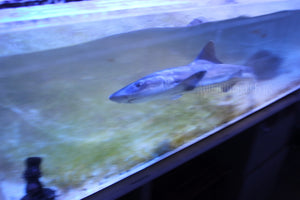Grey Smooth Hound Shark WYSIWYG