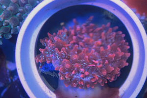 Rose Snowflake Bubble Tip Anemone