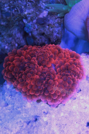 Black Rose Bubble Tip Anemone