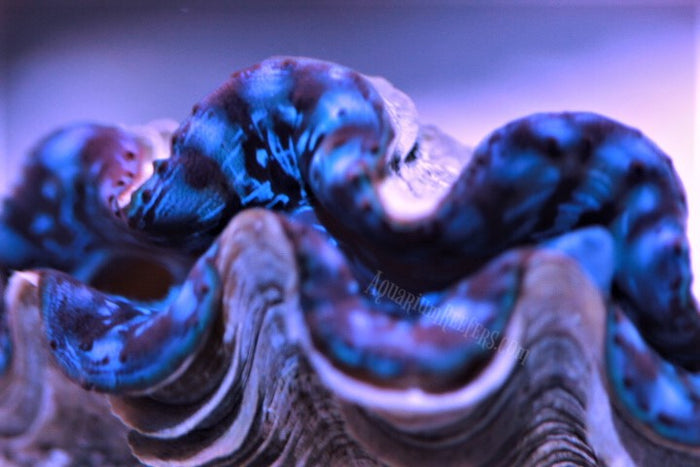 Blue Maxima Clam Aquacultured