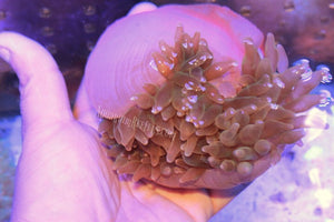 Bubble Tip Anemone w/Red Foot