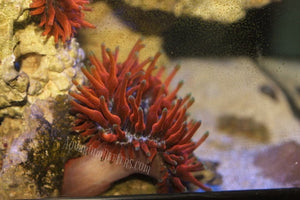 CC Flame Tip Bubble Tip Anemone