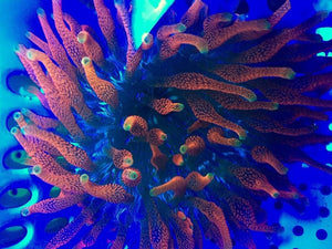 CC Supernova Bubble Tip Anemone - Aquarium-Reefers Online Store