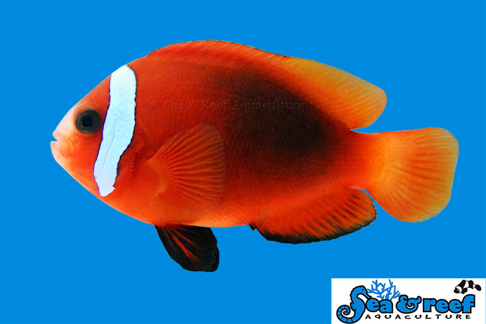 S&R Cinnamon Clown Fish