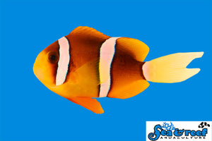 S&R Clarkii Clown Fish