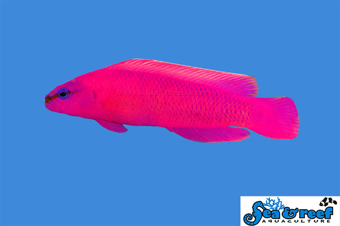 S&R Orchid Dottyback