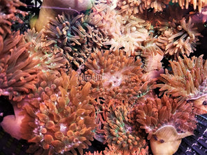 Bubble Tip Anemone 3 Pack
