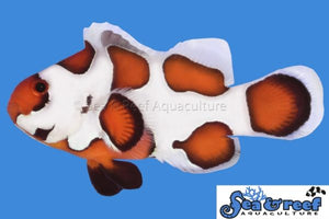 S&R Orange Storm Clown Fish