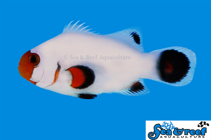 S&R Wyoming White Clown Fish