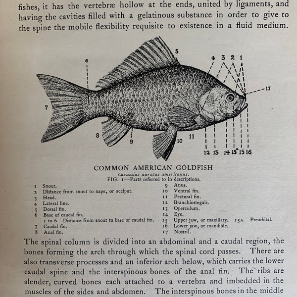 Goldfish Breeds and Other Aquarium Fishes