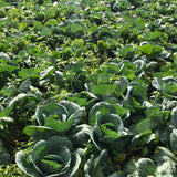 Cabbage / Repolyo First Class (900g - 1.1 kilos)