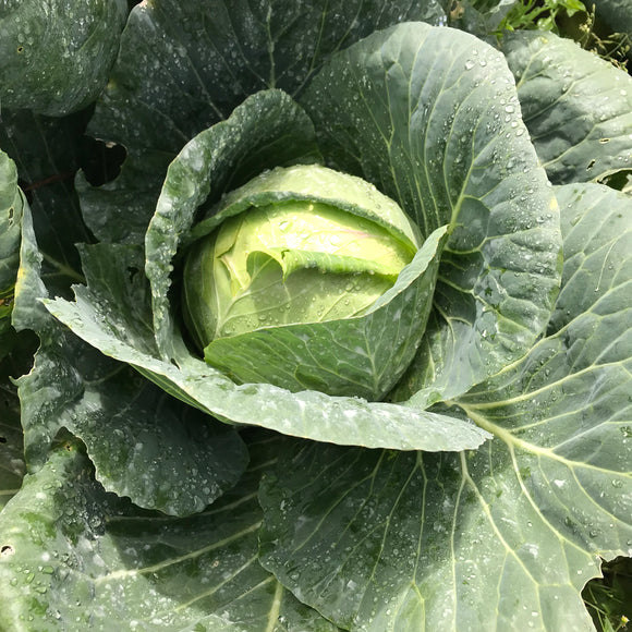 Cabbage 1 Piece (800g - 1 kilo)