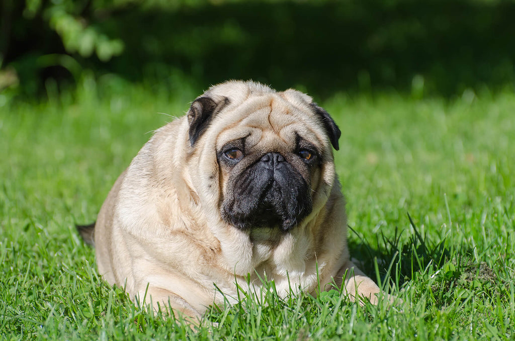 Dogs with Health Problems: Common Issues