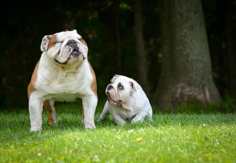 Cute bulldog adult and puppy playing outside