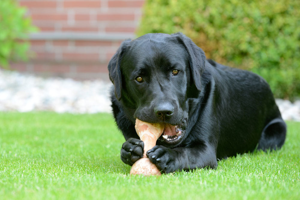 Canine Nutrition: Dog With Bone
