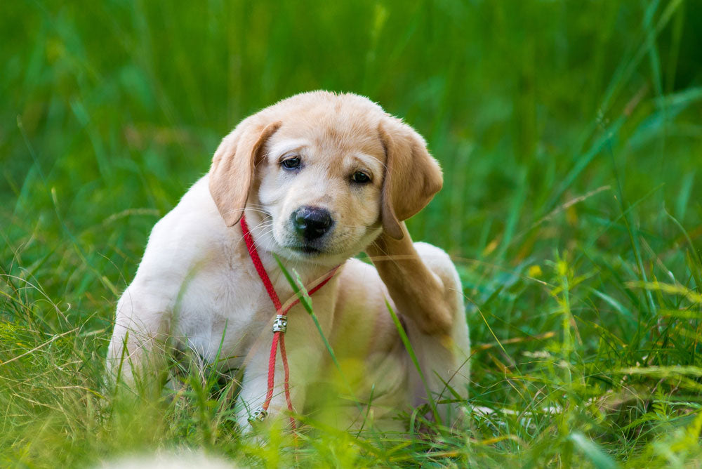 Dog Health: Puppy Scratching