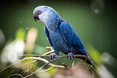 Spix's Macaw and its return from extinction