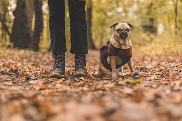 Pug sat next to owner in a jacket walking through a forest.