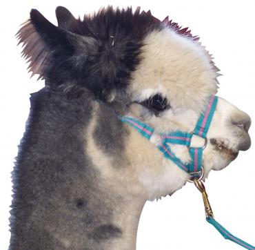 Alpaca Halter and Lead - Wanneroo Stockfeeders