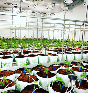 riococo growing media in use in a cannabis facility
