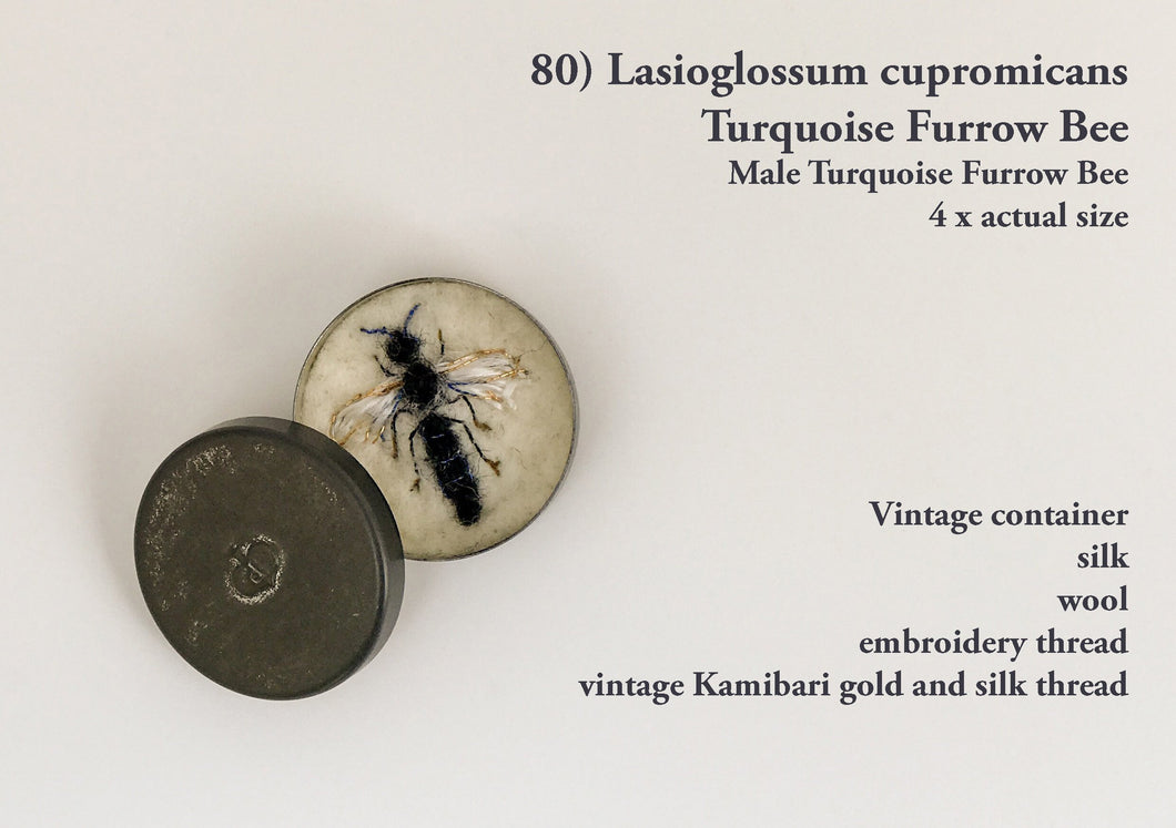 80bee - Lasioglossum cupromicans - Male Turquoise Furrow Bee