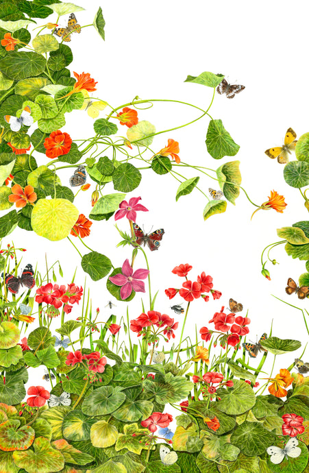 Nasturtiums and Butterflies.