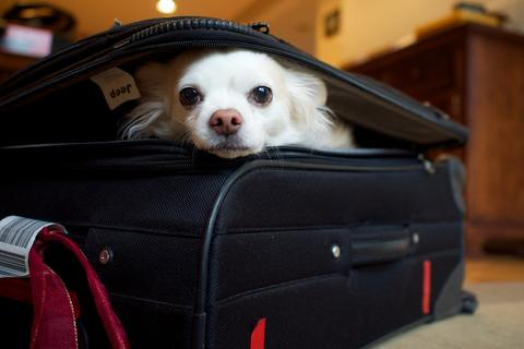 Chihuahua peeking out of a black suitcase