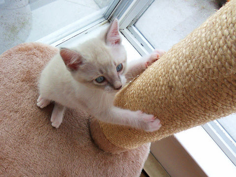 white kitten using a scratching post
