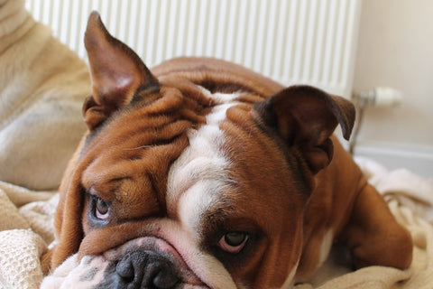 grumpy looking bulldog