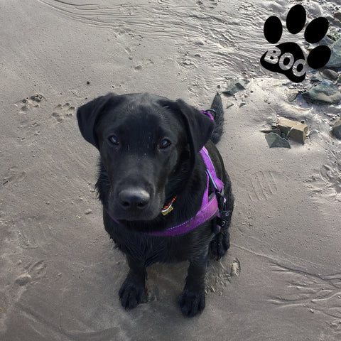 black Labrador on the beach