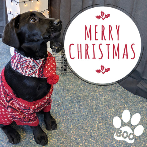 black Labrador puppy in a Christmas jumper