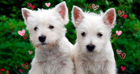 Two white highland Terriers