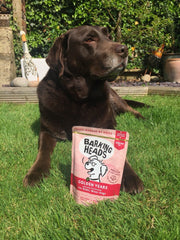 chocolate Labrador in the garden with barking heads pouch