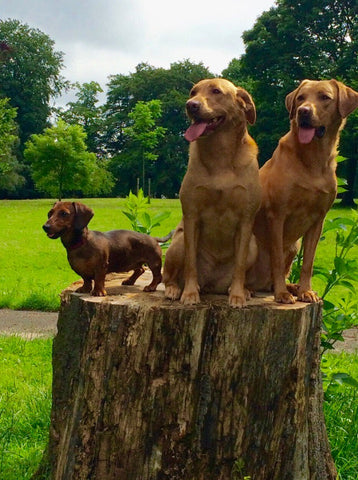 three dogs sitting on a tree stump