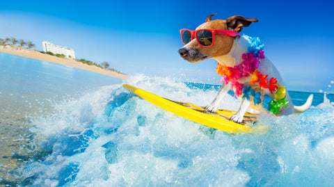 dog surfing the beach